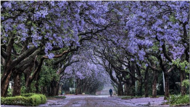 Pretoria-Jacaranda-trees-Tunnel-004.jpg